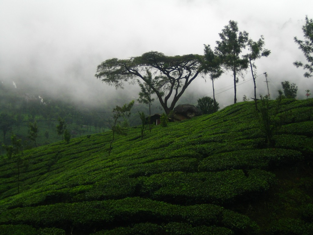 Munnar (Image Source:Flickr)